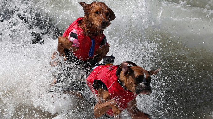 Dogs wipe out in the 6th Annual Surf City surf dog contest in Huntington Beach, California September 28, 2014. (Reuters / Lucy Nicholson)