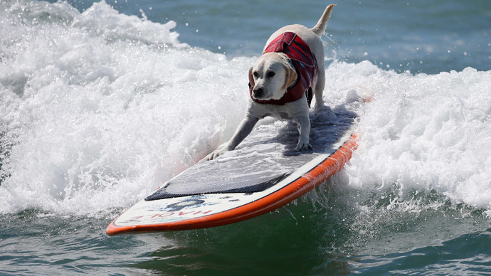 A dog surfs at the 6th Annual Surf City surf dog contest in Huntington Beach, California September 28, 2014. (Reuters / Lucy Nicholson)