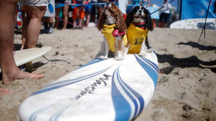 Samson (R) and Delilah wait to compete at the 6th Annual Surf City surf dog contest in Huntington Beach, California September 28, 2014.(Reuters / Lucy Nicholson)