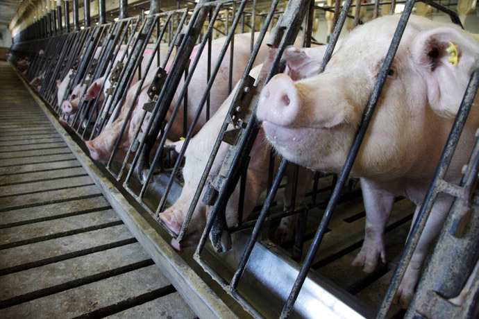 Sows feed at Whiteshire Hamroc farm in Albion, Indiana (Reuters/John Gress)