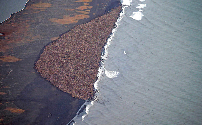 This National Oceanic and Atmospheric Administration (NOAA) photo obtained October 1, 2014 shows an estimated 35,000 walrus as they gather on shore on September 23, 2014 about 5 miles(8 km) north of Point Lay, Alaska according to NOAA (AFP Photo / NOAA / Corey Accardo)