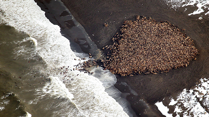 35,000 walruses forced onto land in Alaska due to decrease in Arctic Sea ice