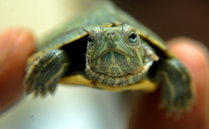 Red-eared slider turtle (Reuters / Bab)