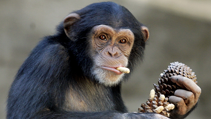 Human rights for chimpanzees? NY court to decide in landmark legal battle