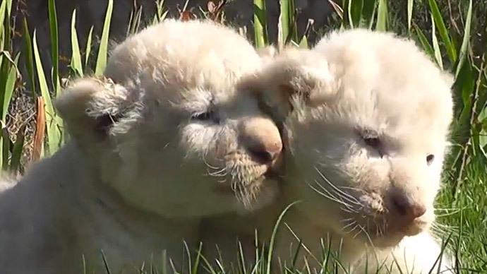Ultra-rare white lion cubs born in Crimean zoo (VIDEO)