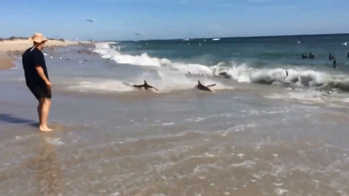 We're going to need a bigger beach: Sharks come ashore during massive feeding frenzy (VIDEO)