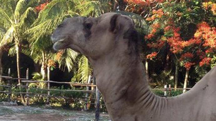 Soda addict? Camel brutally kills Chicago man in Mexico wildlife park