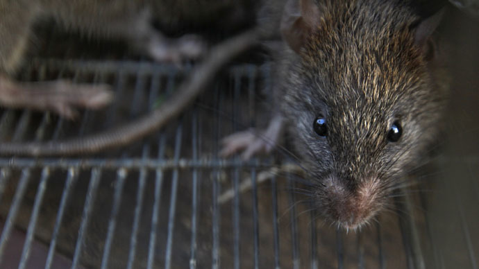 Rat City! NY vermin carry 18 new viruses - scientists