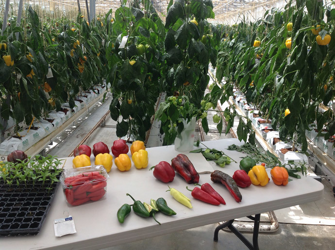 Different varieties of wild or experimental peppers are displayed on a tablein a greenhouse, part of a global center which selects vegetable and fruit seeds, owned by global Swiss agribusiness Syngenta AG, in Sarrians, southeastern France. (AFP Photo / Sandra Laffont)