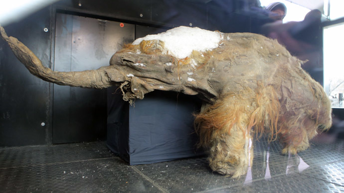 "The Yakutian baby mammoth ""Yuka"" delivered to the Central Artist House before the onset of the Russian Geographical Society Festival. (RIA Novsti/Vitaly Belousov)"