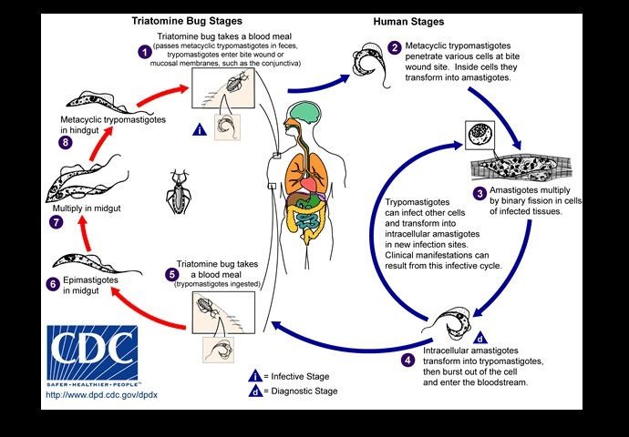 The life cycle of Chagas disease, a zoonotic disease that can be transmitted to humans by blood-sucking triatomine bugs that contain the protozoan parasite, Trypanosoma cruzi, in their feces (US Centers for Disease Control and Prevention)