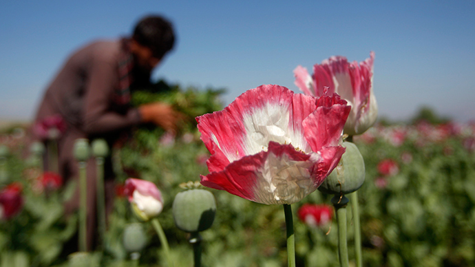 Record opium poppy cultivation has 5% of Afghan pop. using heroin