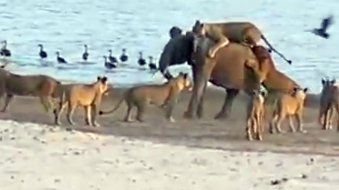 Incredible video of young elephant repelling 14 hungry lions