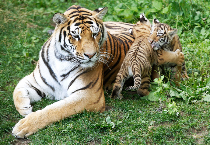 амурский тигр фото тигрята