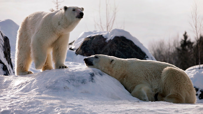 Barely surviving: Alaska's polar bear population falls 40% in 10 years