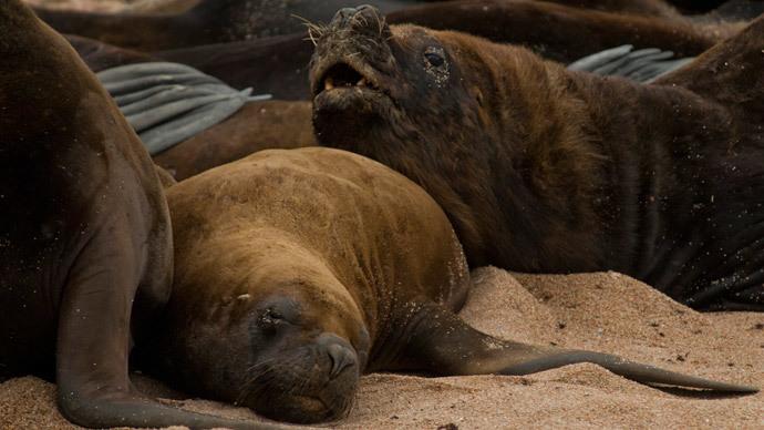 500 dead sea lions found on Peru beach
