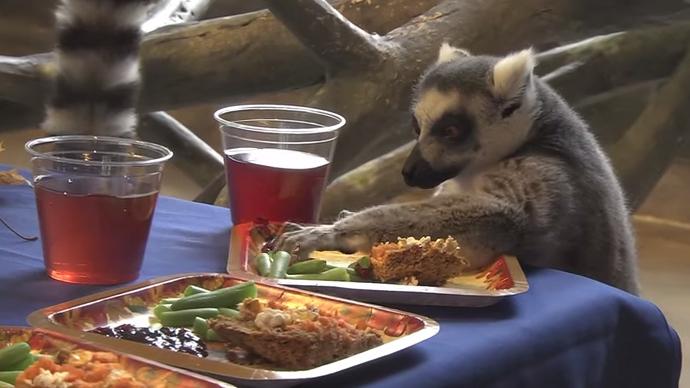 Lemurs Eating Meat Ring Tailed Lemurs Eat