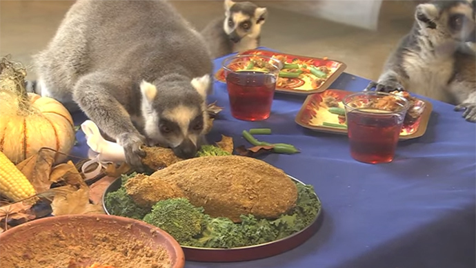 Thanksgiving comes to dazzled lemurs at Chicago zoo (VIDEO)