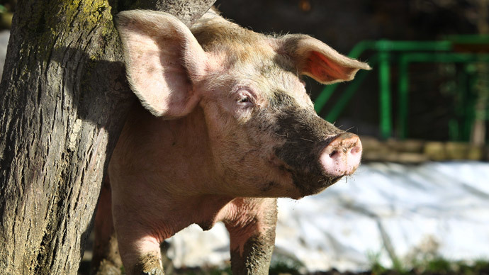 'Emotional support pig' can't fly US Airways, kicked off with owner