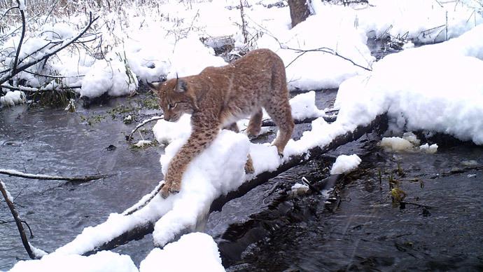 Eurasian lynx (Photo from ceh.ac.uk)
