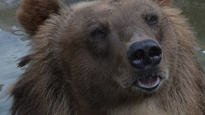 'Run it over!' Locomotive runs over bear in Siberia… but animal survives (VIDEO)