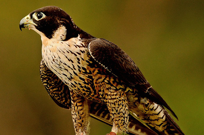 Peregrine Falcon (AFP Photo)