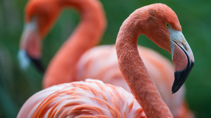 Flamingoes 'closely related to pigeons': Scientists form 'most reliable' avian tree of life