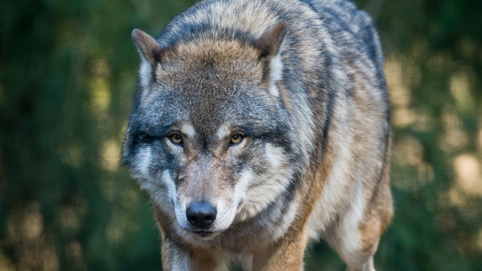 Thousands of wolves, bears and lynx striding Europe alongside humans