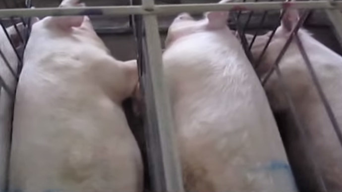 Pregnant pigs kept in gestation crates (Still from Youtube video, SpeciesismTheMovie)
