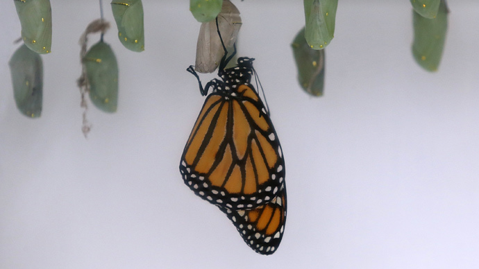 Monarch butterfly may be listed as endangered species after 90% population drop