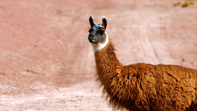 Llama on the lam: Furry fugitive escapes, hits the town in Greater Manchester