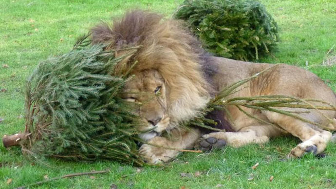 The lion's share: Christmas trees recycled as big cat toys