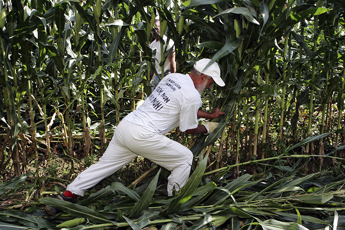 An Anti-GMO activist destroys genetically-modified corn in a field in Miradou near Toulouse in southeastern France. (Reuters/Georges Bartoli)