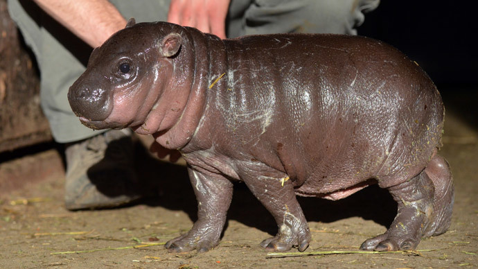 Cute baby hippo born to cancer suffering mum