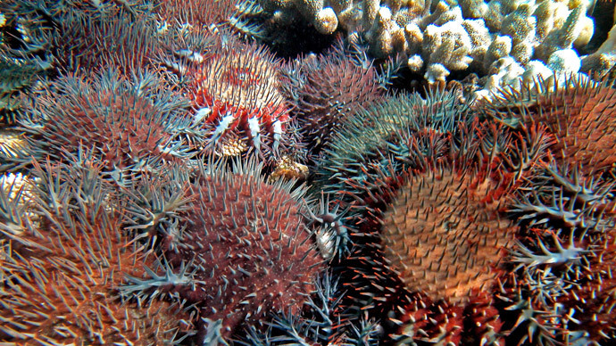 Coral eating starfish at Australia's Great Barrier Reef (AFP Photo / Katharina Fabricius / Australian Institute of Marine Science)