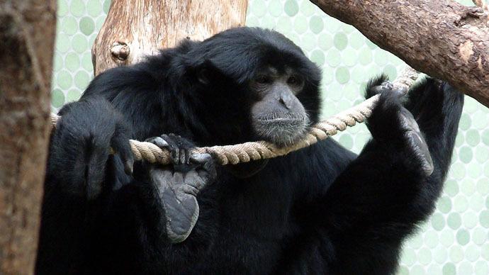 Siamang Gibbon (Photo from Wikipedia.org)