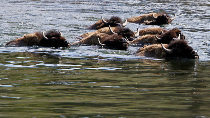 Yellowstone Park ships 200+ bison to slaughter, more planned – conservation group