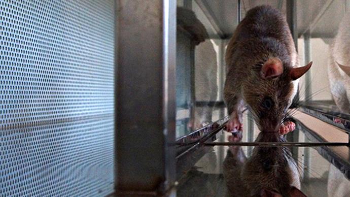 'Cruel and absurd': Cambridge heart disease study starves rats of oxygen