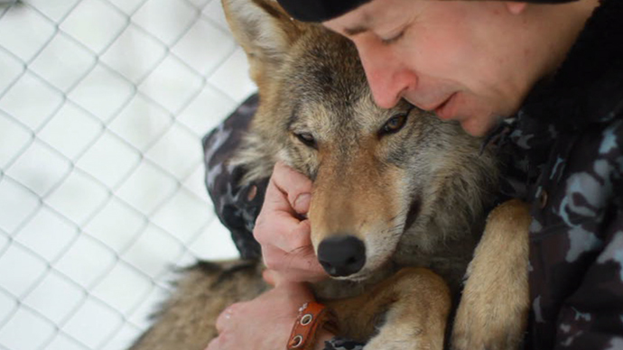 Meet Hanti, my pet wolf: A walk on the wild side for Russian animal activist (VIDEO)