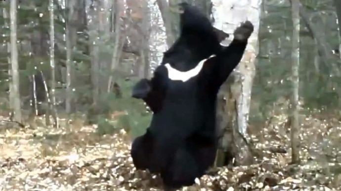 Scratch that! 'Dancing Bear' in Russia's Far East gains internet fame (VIDEO)