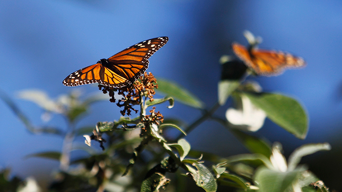 Monsanto's Roundup system threatens extinction of monarch butterflies - report