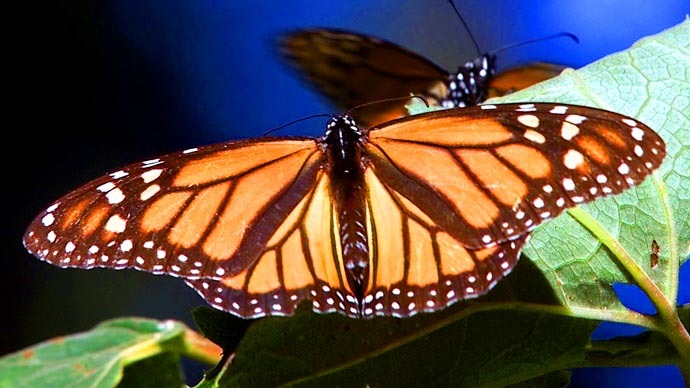 Monsanto monarch massacre: 970 million butterflies killed since 1990