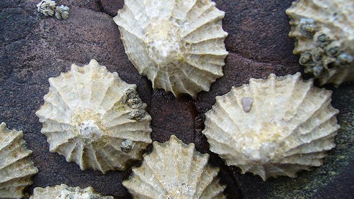 Super-strong sea creature teeth tough enough to make ships – study