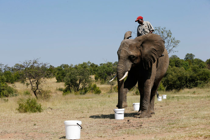 "A ranger rides an elephant during a demonstration of the art of ""bio-detection"", to see if it can be used to sniff out explosives, at the Adventures with Elephants game ranch, in Mabula, northwest of Johannesburg, February 20, 2015. (Reuters / Siphiwe Sibeko)"