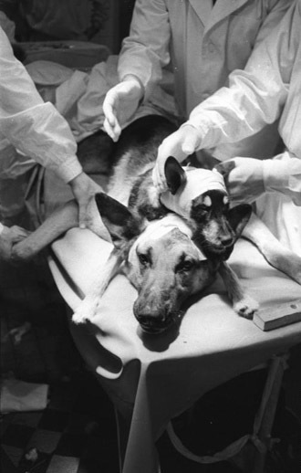 Transplantation of a dog-head in the GDR by Vladimir Demikhov on January 13, 1959. (Image from Wikipedia)