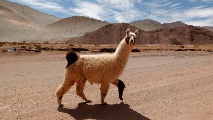 2 llamas on the run in Arizona transfix America (VIDEO)