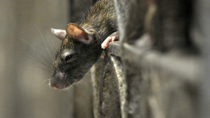 NYC rats carry Bubonic plague-transmitting fleas - study