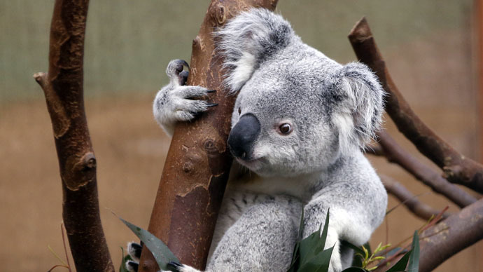 Koala cull: 700 endangered marsupials secretly slain by Australian authorities