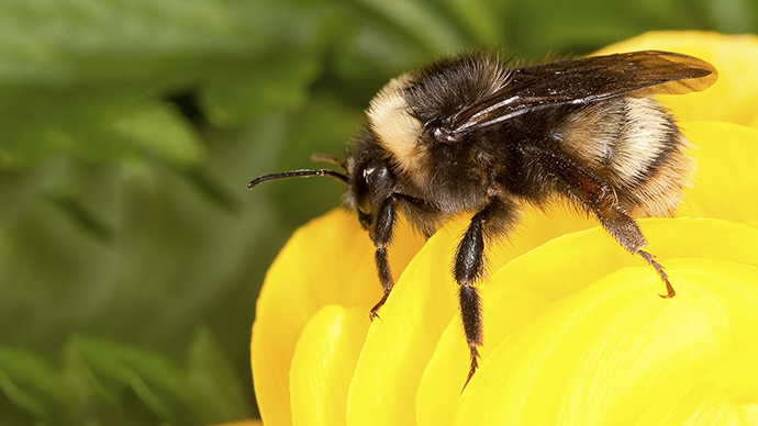 Best bee-havior: Micro-trackers glued onto bees to monitor travels