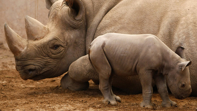 Endangered black rhino trophy can be imported, US wildlife agency says